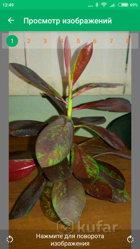 Как выращивать синадениум в домашних условиях?