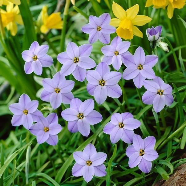 Всё об ифейонах, посадке в открытый грунт, описание цветка ифейон джесси