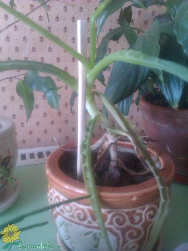 Пожелтение листьев, белый налет, засыхание и другие варианты болезней каланхоэ
