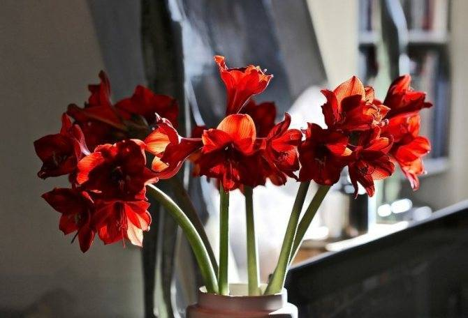 Амариллис: уход за цветком в домашних условиях + фото и видео
