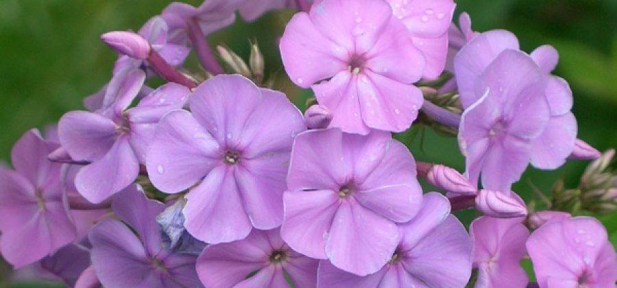 Чем лучше подкармливать флоксы весной и летом для пышного цветения