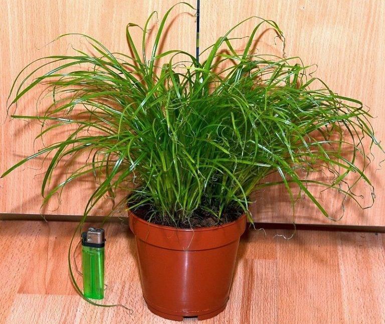 Циперус (47 фото): уход за комнатным цветком в домашних условиях, циперус хелфера и папирус, очереднолистный и «зумула», посадка растения в аквариум и размножение