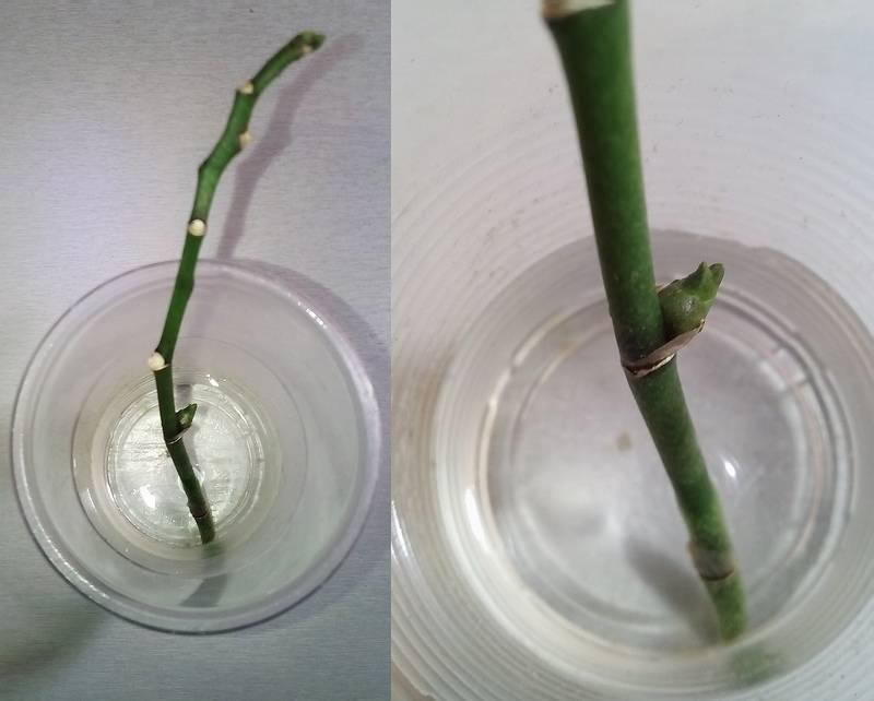 Размножение орхидей в домашних условиях + видео