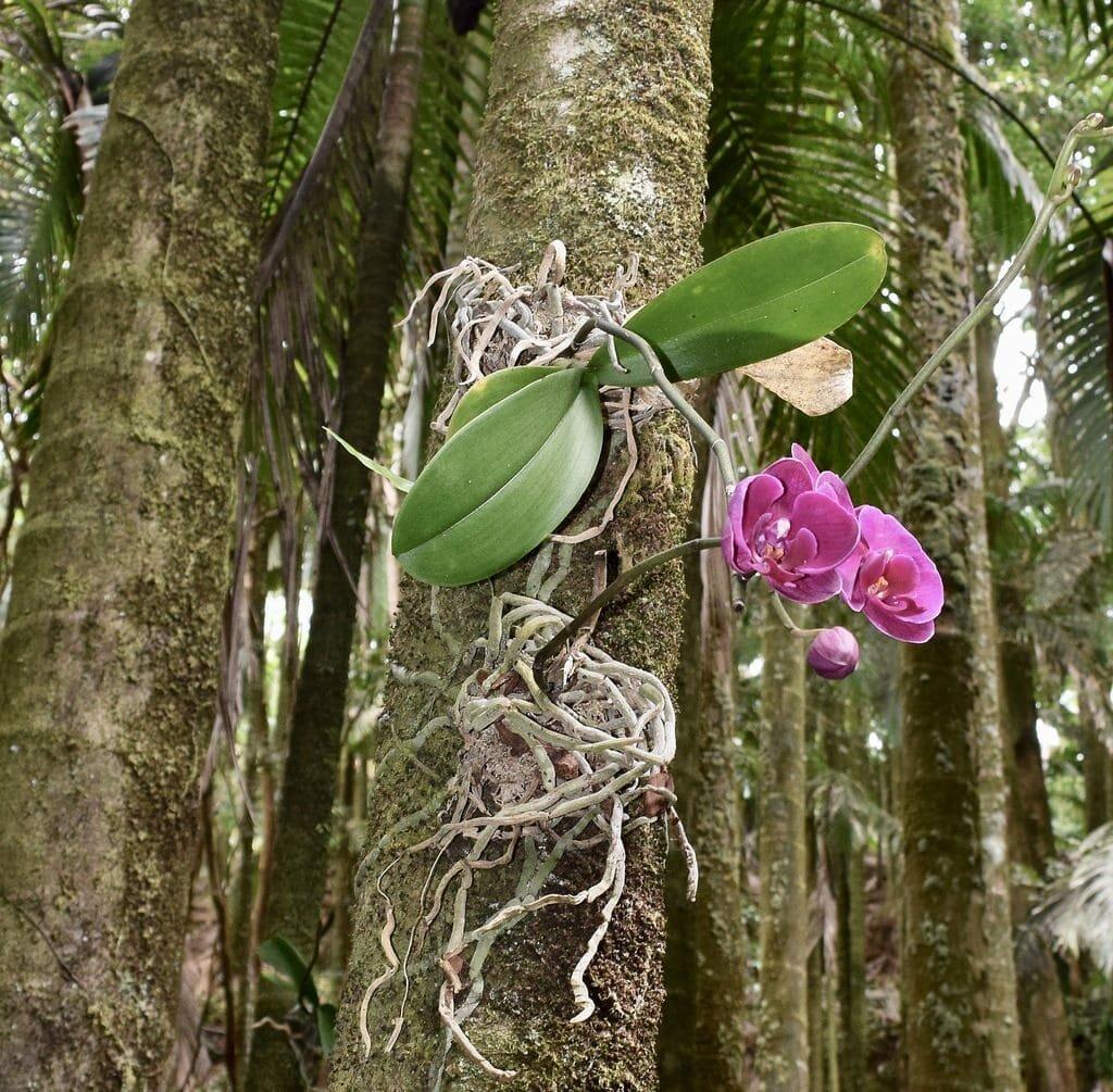 Орхидея фаленопсис - уход и пересадка в домашних условиях, цветение, вредители и болезни