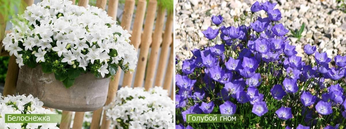 Колокольчик персиколистный (61 фото): описание, белые и голубые колокольчики, выращивание из семян, «альба плена» и другие сорта