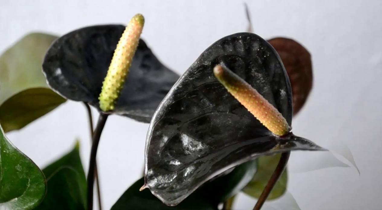 Выращивание антуриума андре в домашних условиях