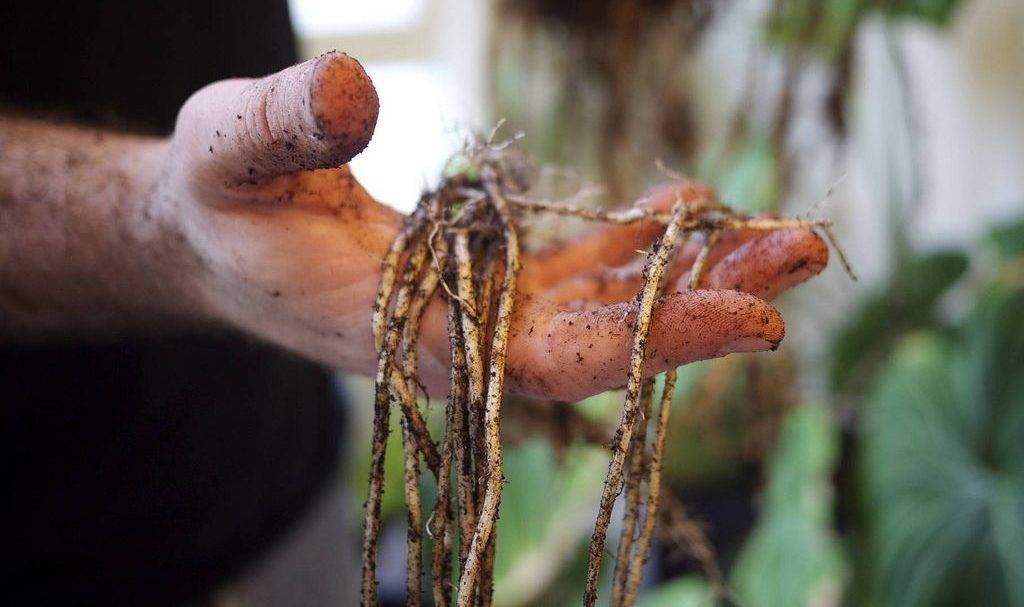 Алоказия (37 фото): правила ухода за растением в домашних условиях. особенности алоказии крупнокорневищной и других видов цветка