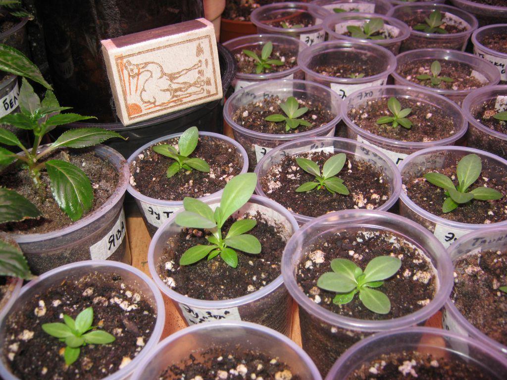 Выращивание эустом из семян на даче, уход в открытом грунте, в сибире,