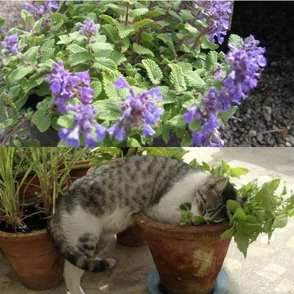 Мята кошачья — что это за растение и как выглядит
