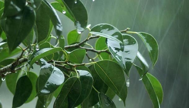 Как поливать фикус зимой? как часто нужно осуществлять полив фикуса в домашних условиях в зимнее время?