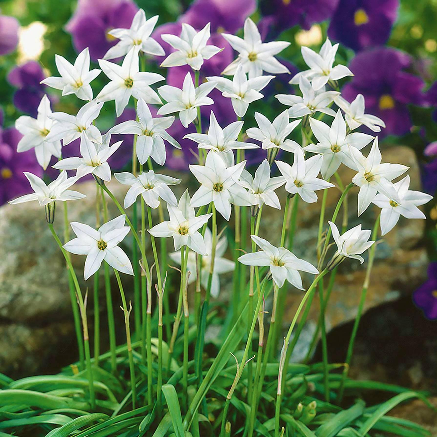 Цветы (цветок) ифейон одноцветковый: фото