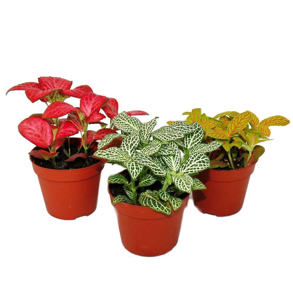 Растение фиттония: фото цветения, уход и размножение в домашних условиях, борьба с вредителями