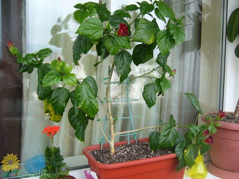 У комнатного бальзамина растут только листья и он не цветет: почему и что делать