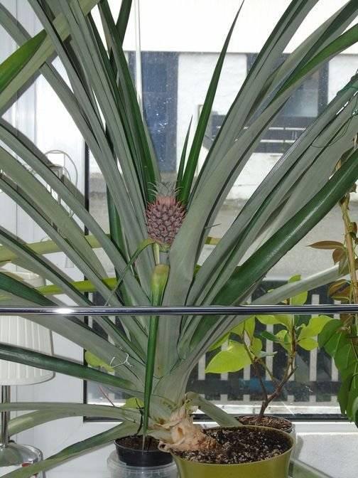 Как растет ананас: 125 фото, подробное описание, виды, особенности посадки и выращивания