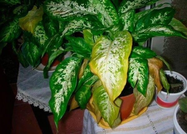 Почему могут желтеть листки у диффенбахии: вредители, болезни, как бороться