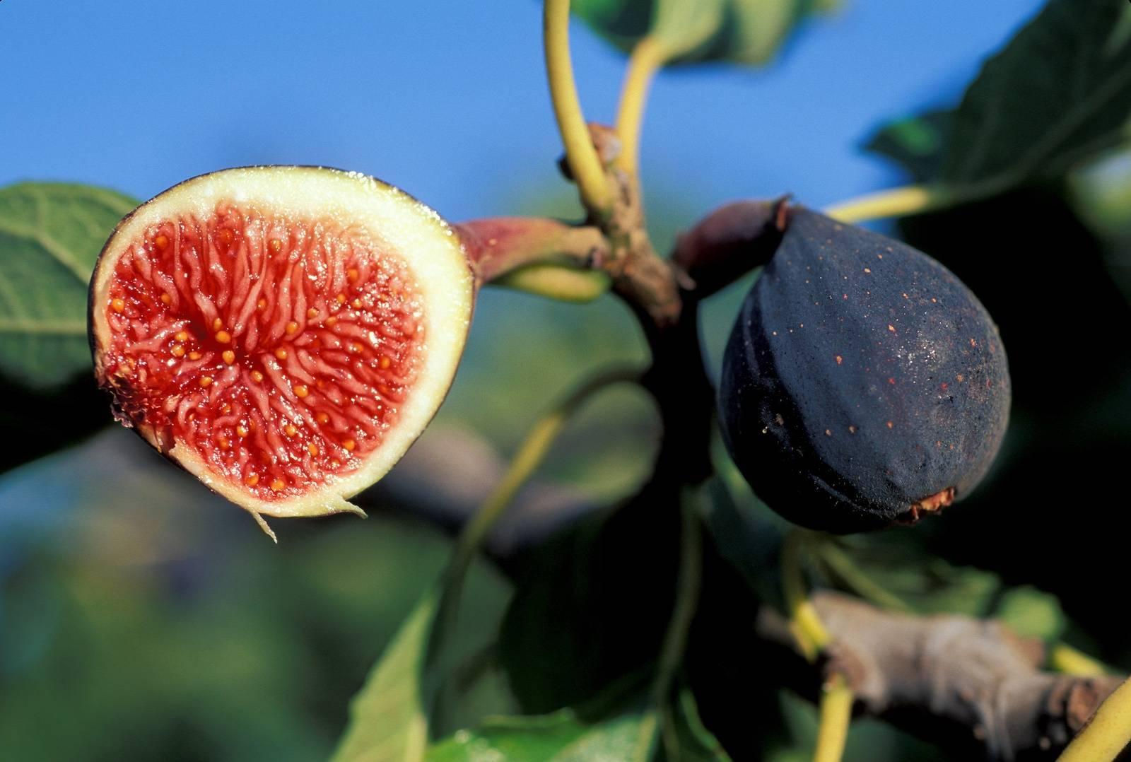 Инжир дерево или кустарник — ягоды грибы