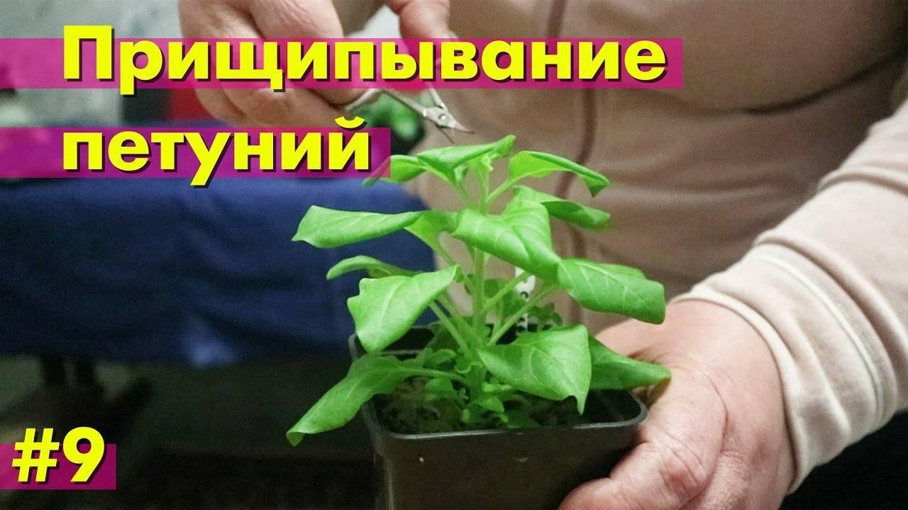 Как прищипывать петунию для пышного цветения