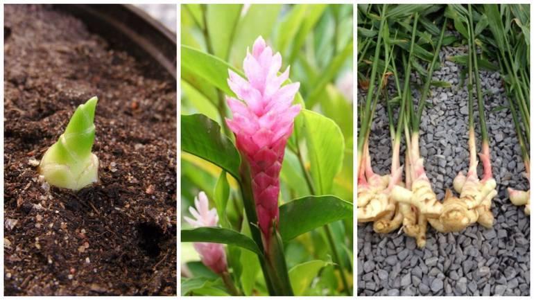 Корень имбиря: выращивание в домашних условиях или на даче на подоконнике, советы, как посадить овощ в горшке, правильно проводить уход, собирать и хранить урожай