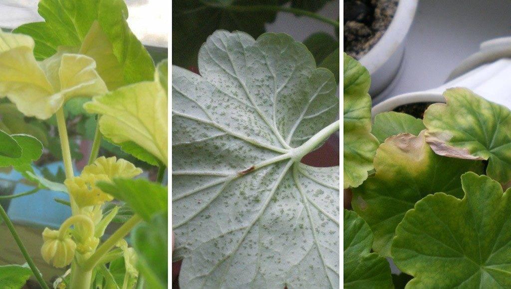 Почему у герани сохнут и желтеют листья с края по кругу и бутоны, что делать в домашних условиях, если комнатное растение поразила болезнь, как спасти цветок?