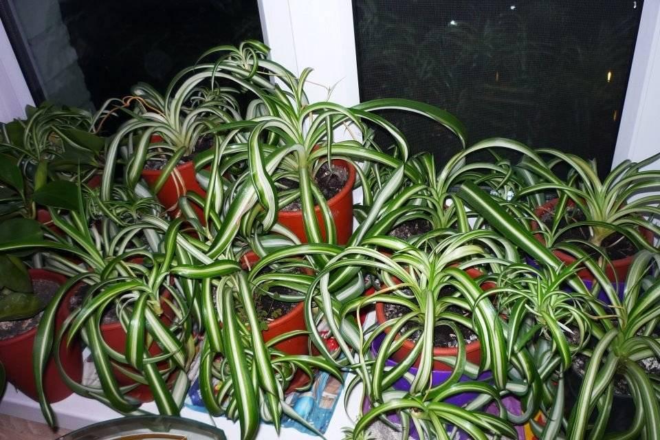 Хлорофитум в доме: как посадить и вырастить цветок – комнатный сорняк. все о пользе хлорофитума (фото)
