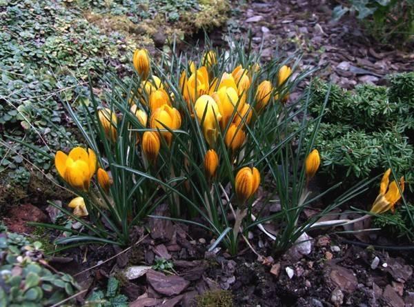 Весенний цветок крокус: описание сортов и условия для посадки