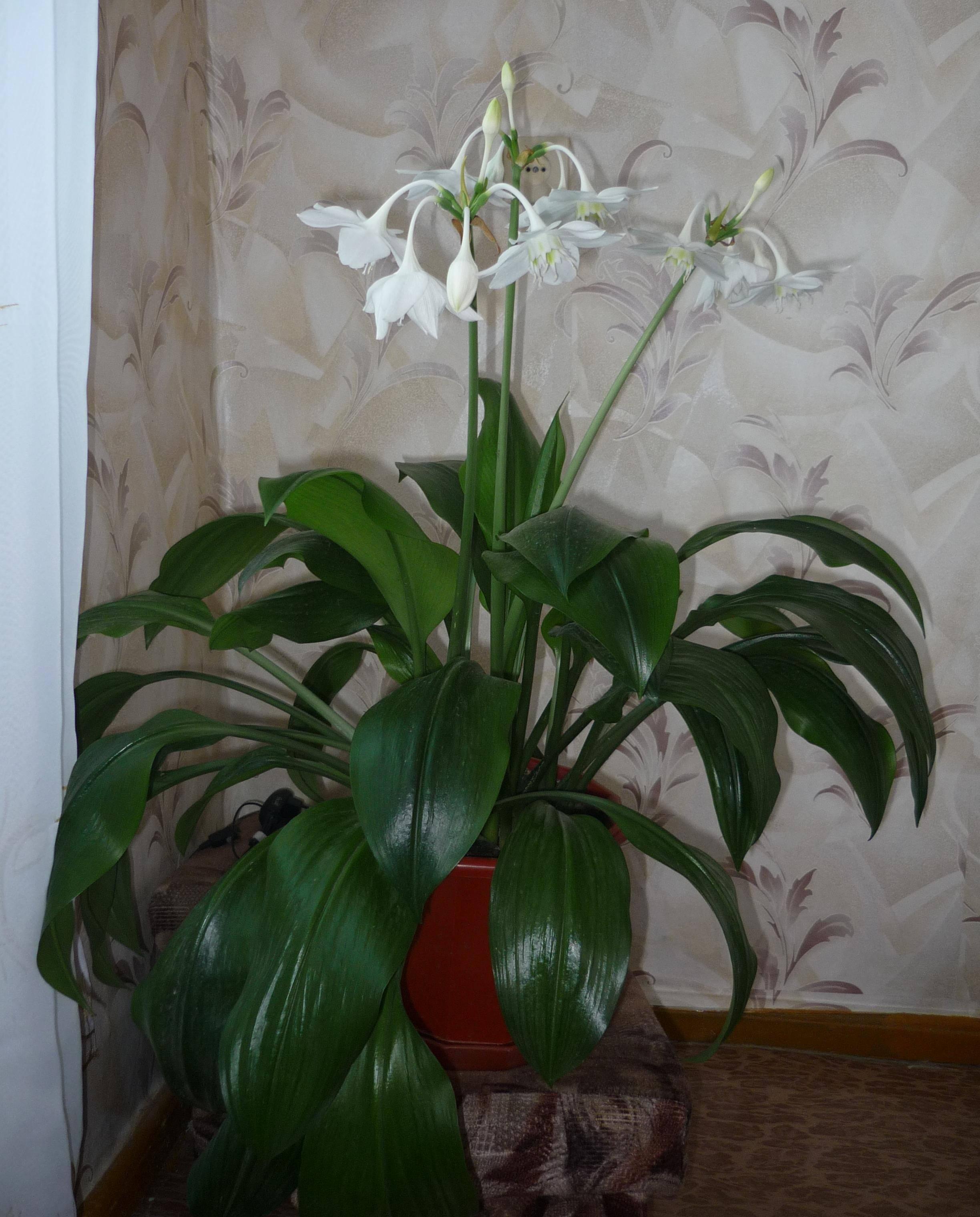Уход за амазонской лилией в домашних условиях: как цветет эухарис, пересадка