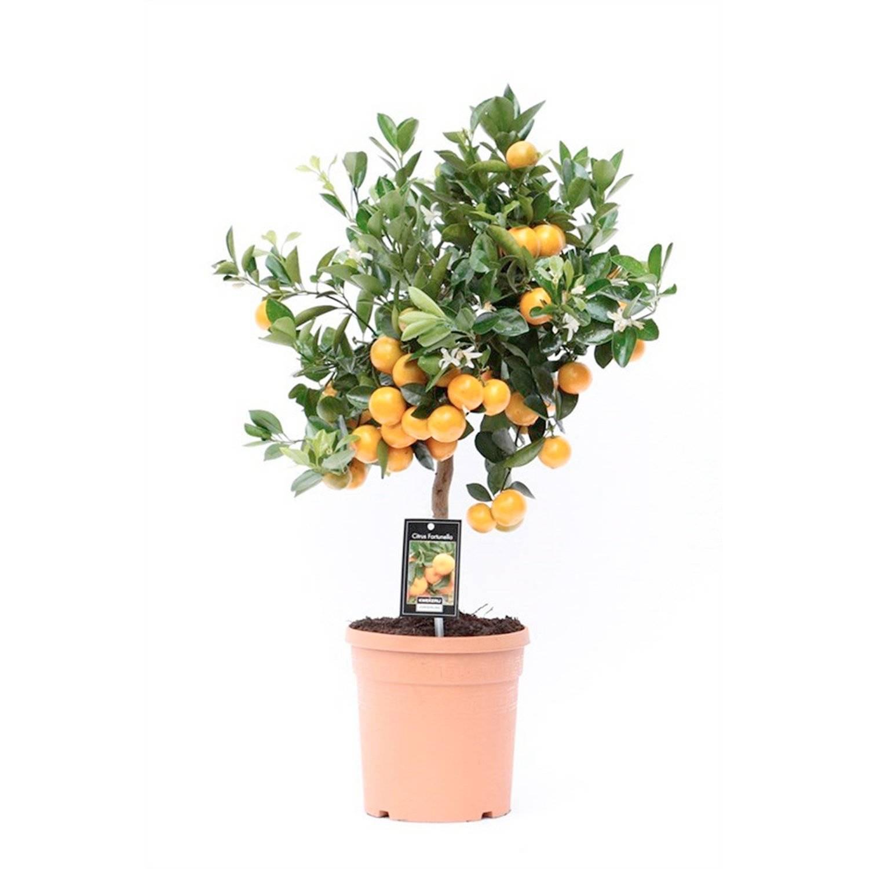 Каламондин (цитрофортунелла): уход в домашних условиях за золотым апельсином