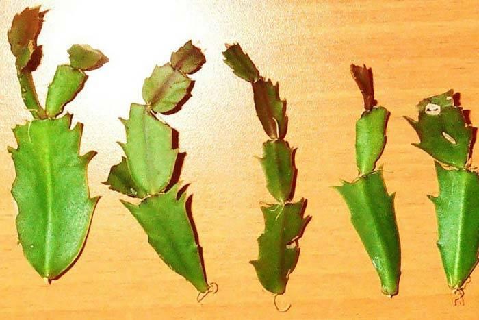Размножение декабриста черенками в домашних условиях: как выбрать отросток шлюмбергеры и укоренить его в воде и грунте, когда заниматься разведением зигокактуса?