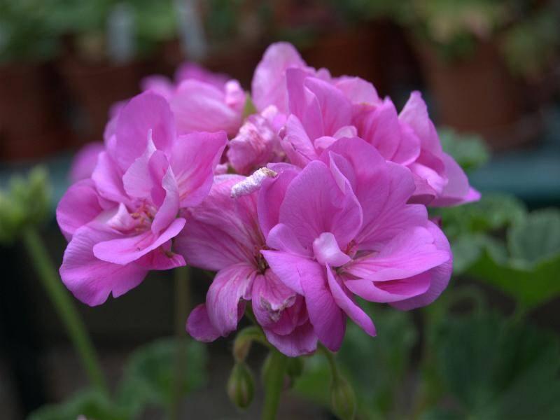 Как выращивать пеларгонию пак вива маделина: описание цветка, посадка и уход