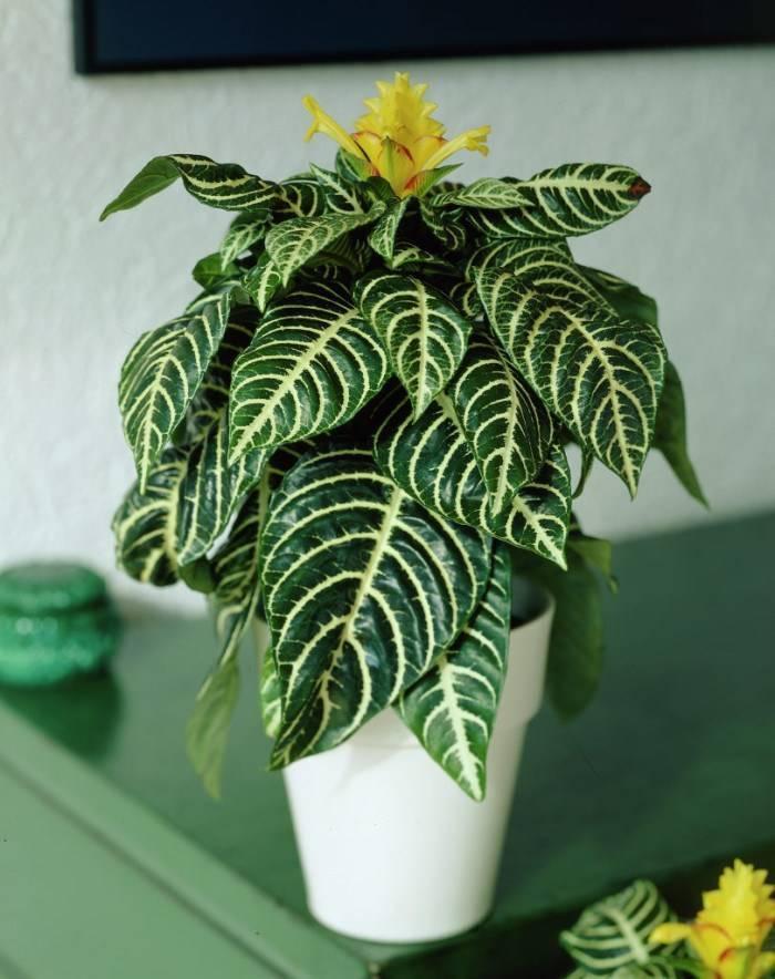 Афеландра: фото комнатного растения, значение цветка дания в доме