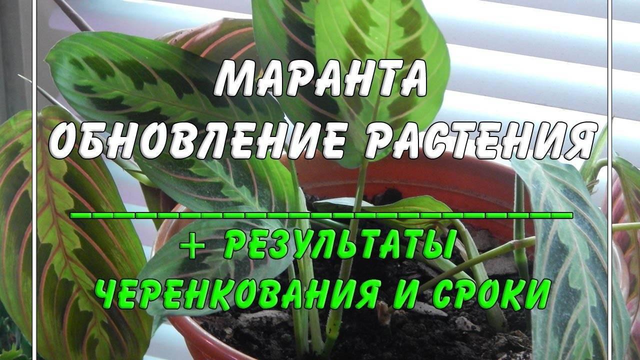 Как ухаживать за марантой дома, подбор грунта, выращивание из семян