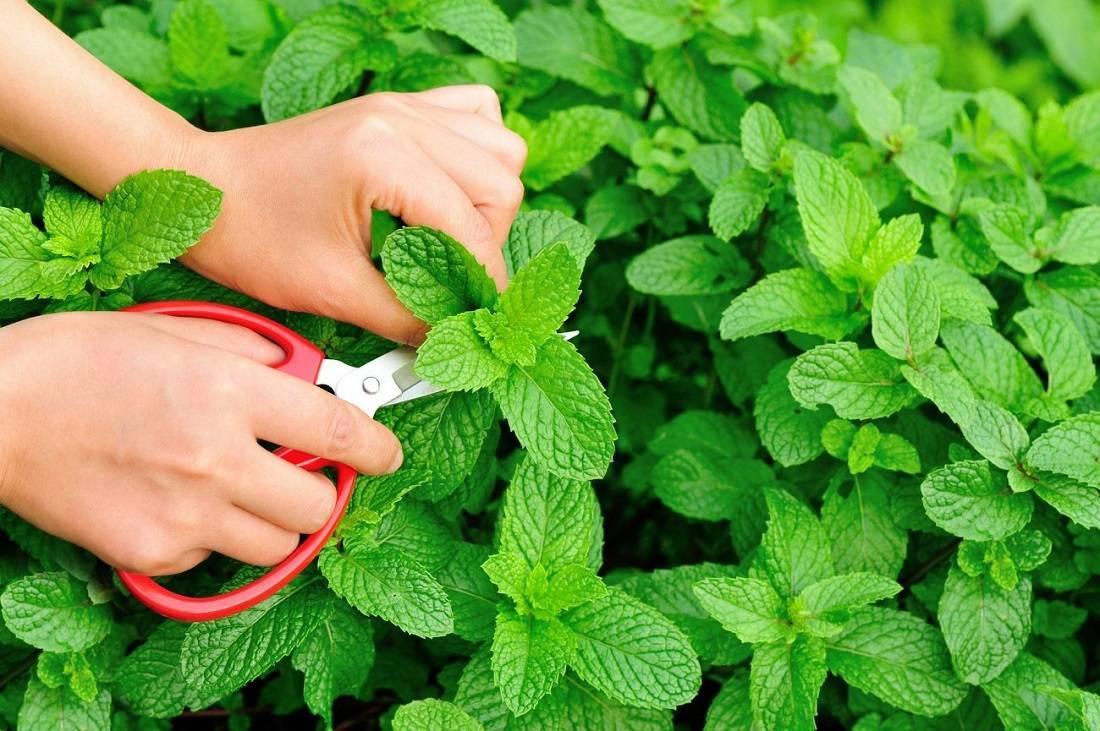 4 способа, как правильно сушить мяту. процесс подготовки травы и рекомендации по использованию