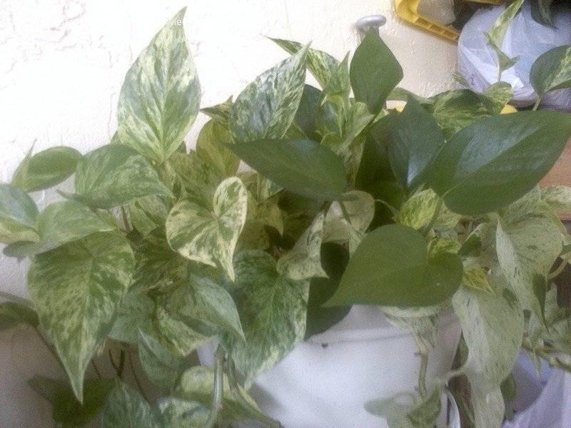 Особенности выращивания эпипремнума в домашних условиях и правила ухода за ним