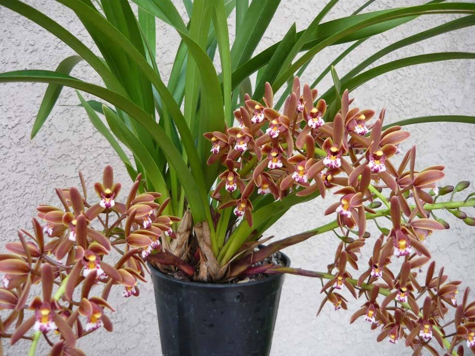 Орхидея цимбидиум: уход дома, пересадка, размножение, вредители, болезни - читайте на орхис