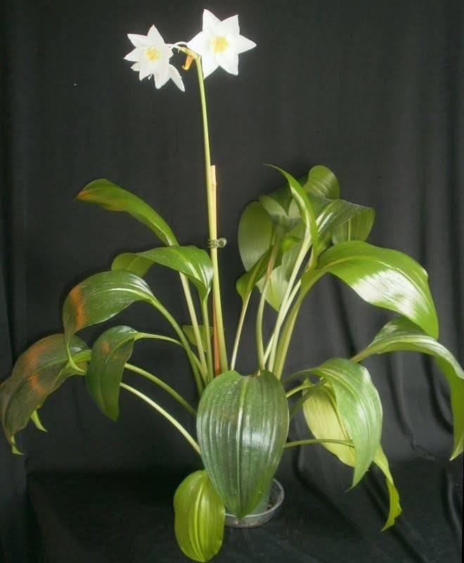 Эухарис (амазонская лилия) — уход за цветком в домашних условиях ?