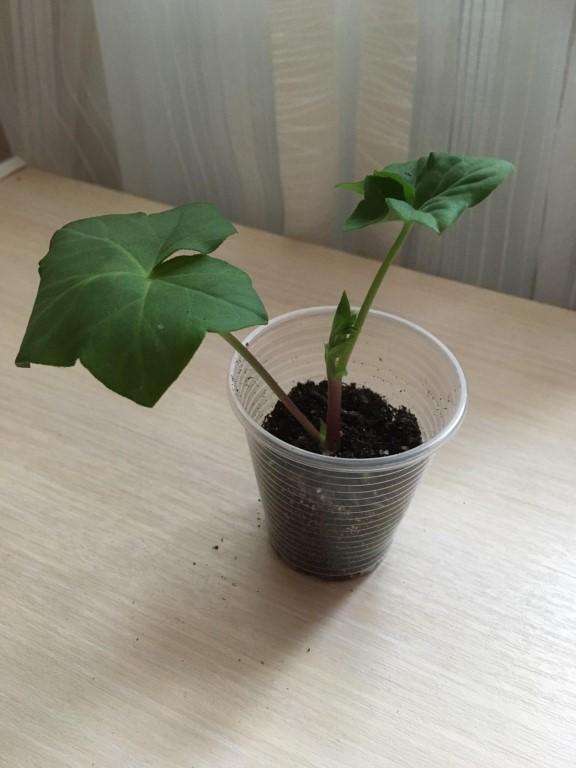 Герань: размножение черенкованием и выращивание из семян, грунт для герани