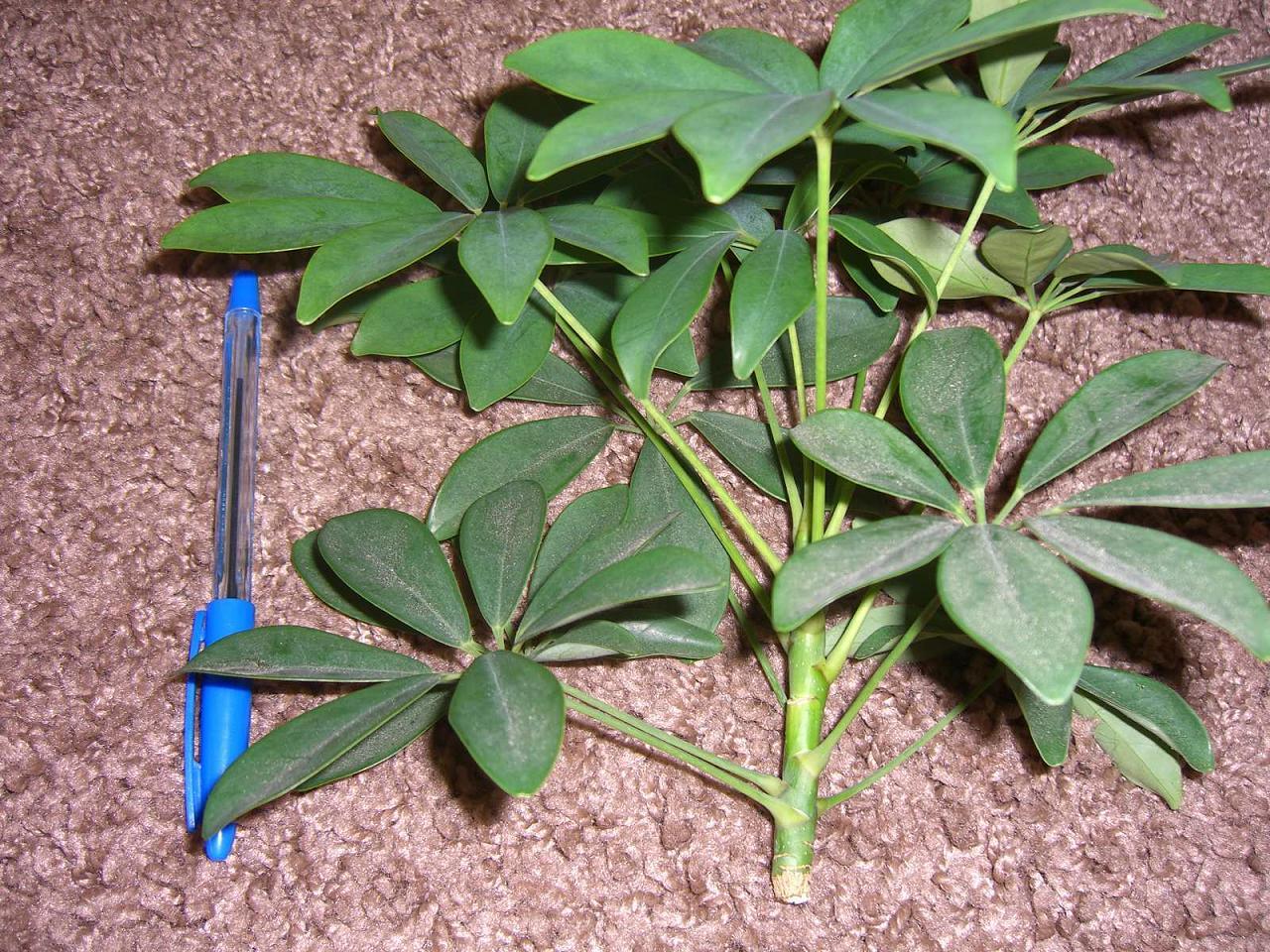 Размножение шеффлеры (23 фото): как размножается цветок черенками и листом в домашних условиях? как его укоренить и рассадить?