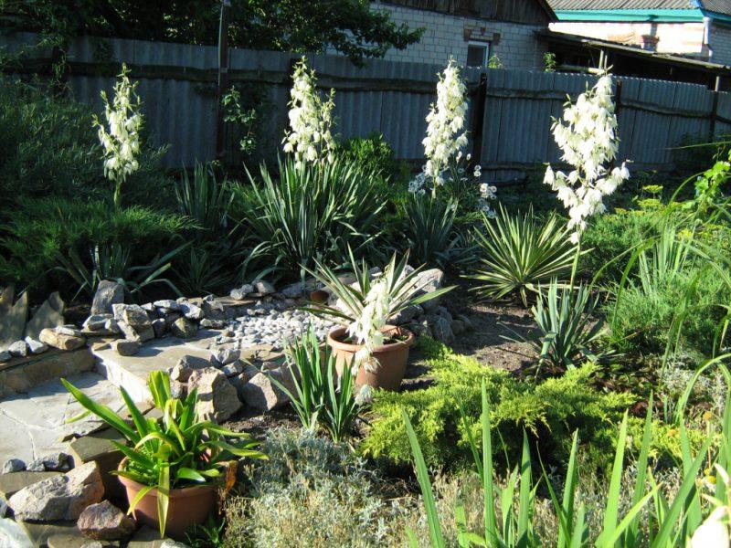 Садовая юкка: особенности ухода, размножения и зимовки
