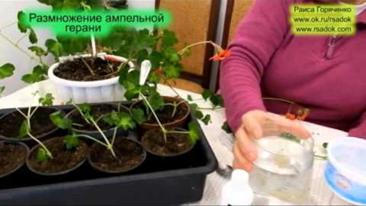 Плющелистная ампельная герань уход и размножение: как получить новое растение из черенков и семян в домашних условиях и какие проблемы могут возникнуть при этом?