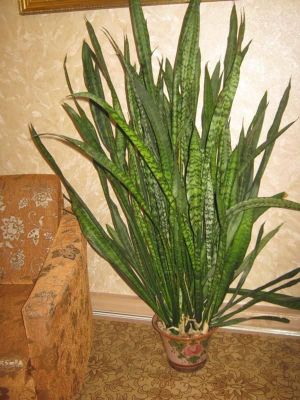 Как правильно выращивать цветок тещин язык в домашних условиях?