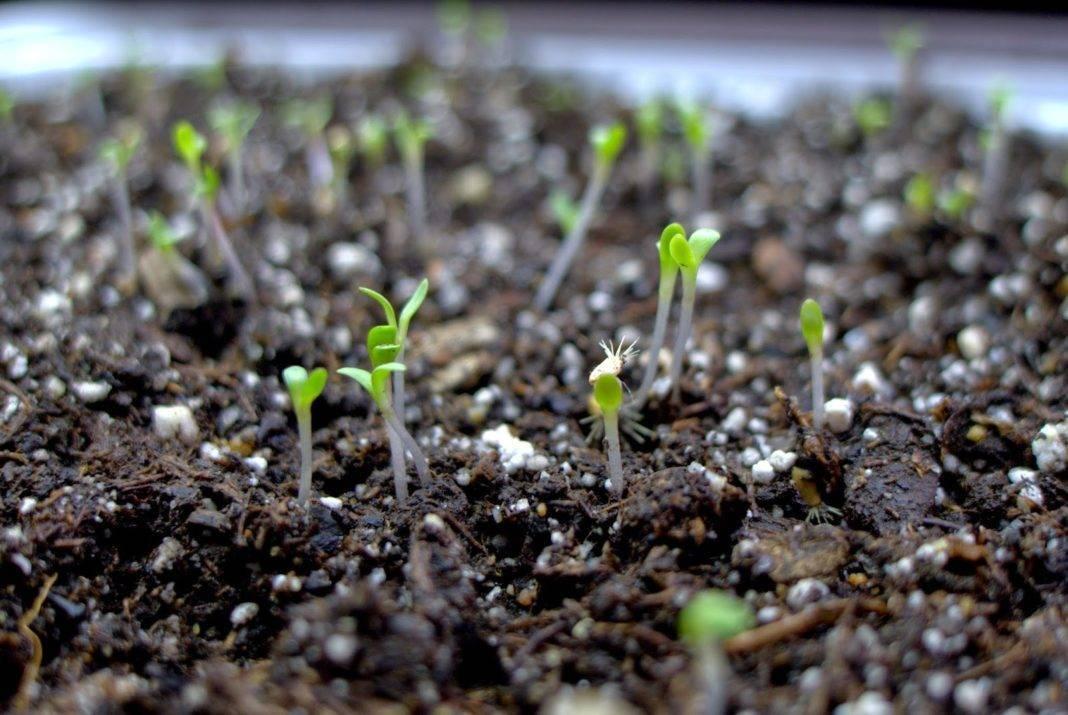 Астры: выращивание из семян, когда сажать