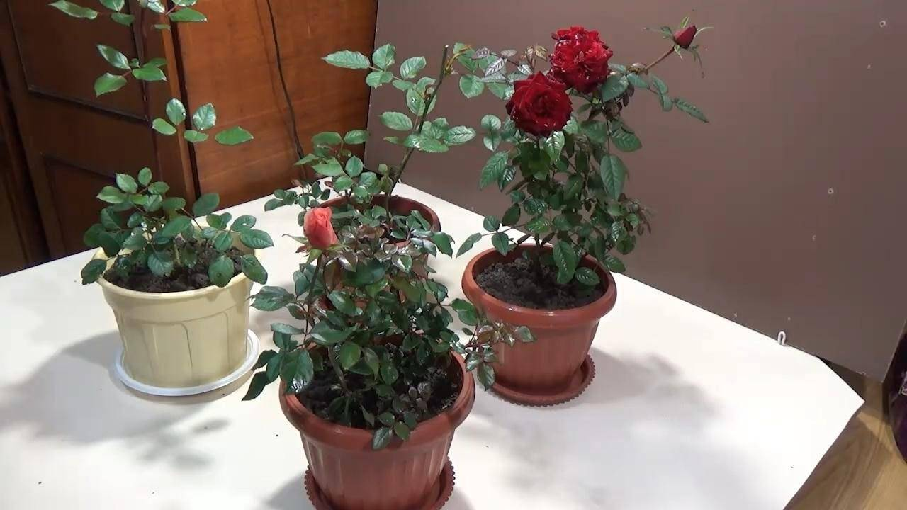 Роза патио хит микс