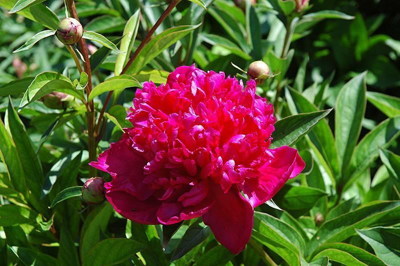 Пион рубра плена (paeonia rubra plena) — особенности сорта