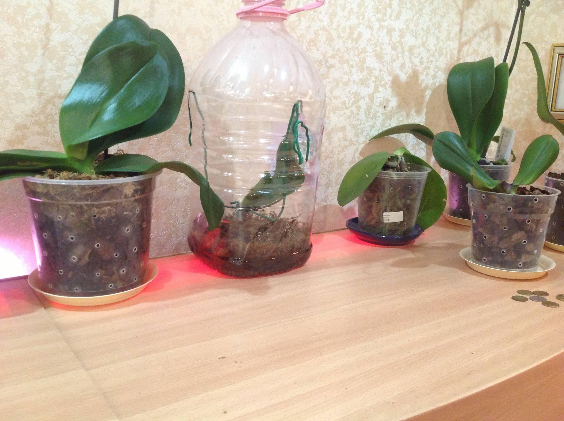Экстренная реанимация орхидеи! беру в руки активированный уголь.