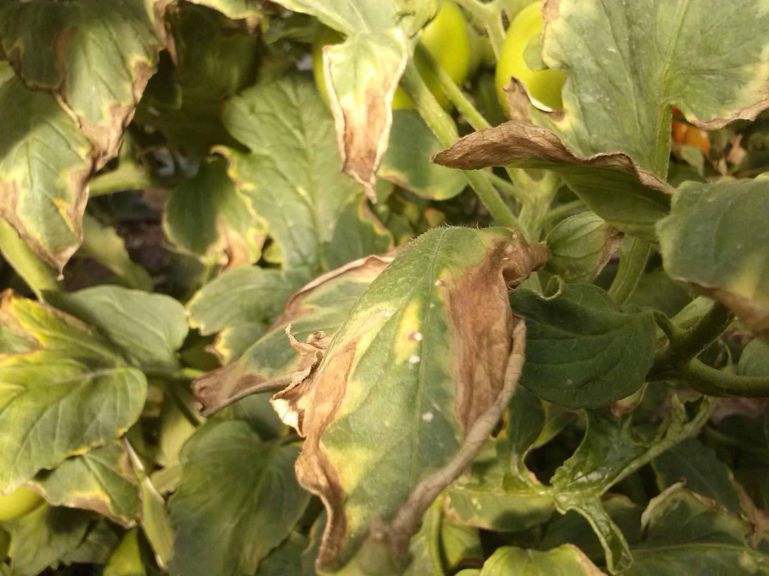 Болезни астр, когда желтеют и сохнут листья