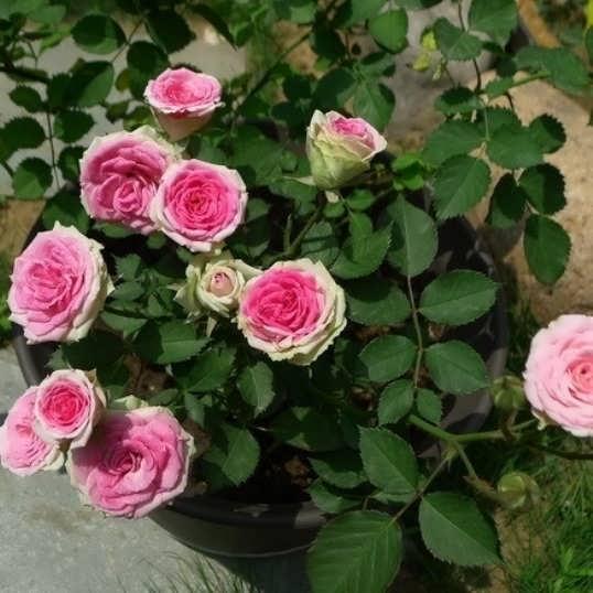 Mimi eden роза