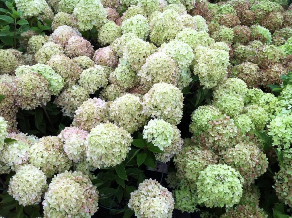 Красавица гортензия «литл лайм» – изысканный стиль вашего сада