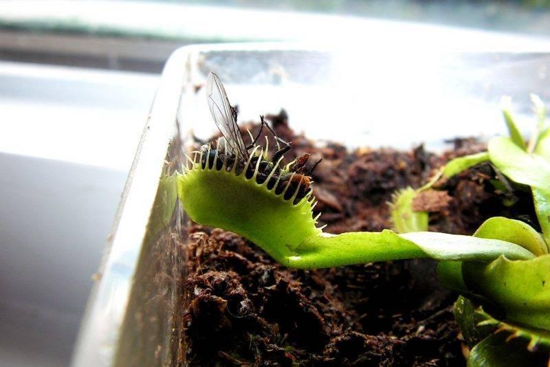 Венерина мухоловка в домашних условиях – проращивание семян и уход за купленным саженцем. освещение, полив
