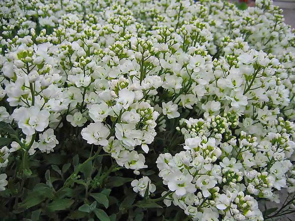 Арабис кавказский — душистое цветочное облако