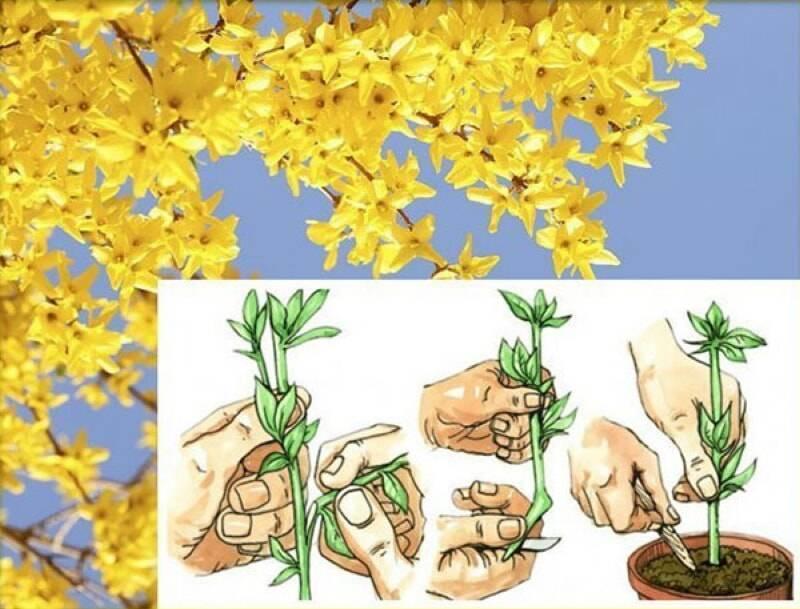 Размножение форзиции: черенками, семенами, отводками
